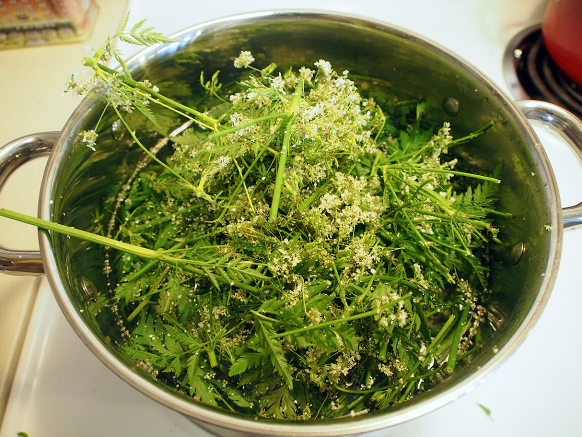 Simmering cow parsley. Photograph by Sasha Krieger